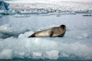 Jokulsarlon Seal